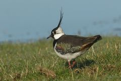 A stunning Lapwing, Vanellus vanellus, searching for food in a grassy field at the edge of a water in spring. A Lapwing, Vanellus vanellus, searching for food royalty free stock image
