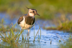 Lapwing wading в мелководье Стоковая Фотография RF