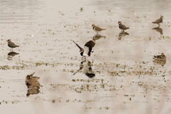 Lapwing (Vanellus vanellus) landing amongst flock on water Stock Photography