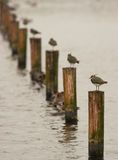 Lapwings in the row Royalty Free Stock Photo