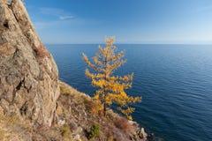Larício-árvore amarela perto do lago Baikal Imagens de Stock