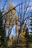 Larício alpinos Imagens de Stock