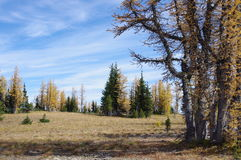 Larício alpinos Fotografia de Stock Royalty Free