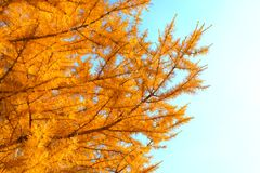 Larício amarelado contra o céu Imagens de Stock Royalty Free