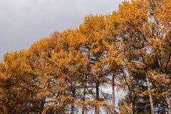 Larício amarelos majestosos da fileira do close-up no fundo cinzento do céu Foto de Stock Royalty Free