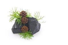 Larício dos cones Imagem de Stock