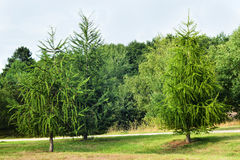 Larício na floresta em Europa Imagens de Stock Royalty Free
