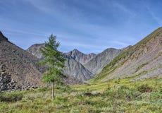 Larício só em uma tundra da montanha de Sibéria oriental imagem de stock royalty free