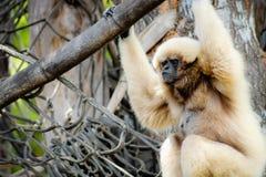 Lar de Hylobates de gibbon de Lar photos stock