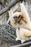 Lar de Hylobates de gibbon de Lar photo stock
