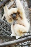 Lar de Hylobates de gibbon de Lar photographie stock libre de droits