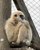 A Lar Gibbin sits in his zoo enclosure royalty free stock photo