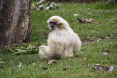 Lar Gibbon arkivbilder