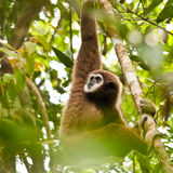 Lar Gibbon. Male white-handed gibbon eating leaves in the jungles of Phuket, Thailand stock image