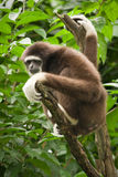 Lar Gibbon. (also White handed Gibbon), Hylobates lar Royalty Free Stock Images
