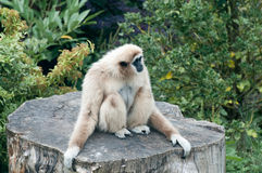 Lar Gibbon Stock Photo