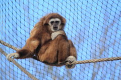 Lar gibbon Royalty Free Stock Images