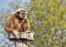 Lar gibbon. In zoo in Vienna Royalty Free Stock Images