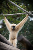 Lar Gibbon Stockfoto