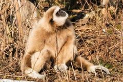 Lar Gibbon Obraz Stock