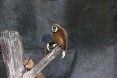 Lar Gibbon Stockbilder