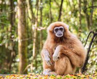 Lar Gibbon image stock