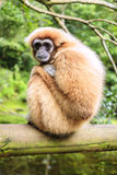 Lar Gibbon Obrazy Royalty Free