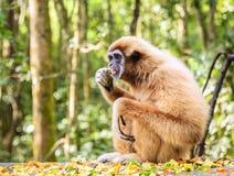 Lar Gibbon Fotografie Stock