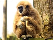 Lar Gibbon arkivfoton