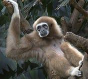 Lar Gibbon Fotografia Stock Libera da Diritti
