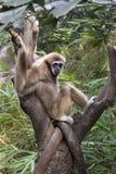 Lar Gibbon Fotografia Stock