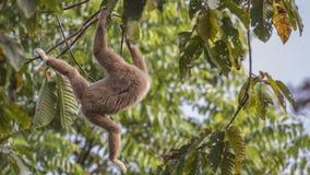 Lar Gibbon Jumping From Tree. Lar gibbon, aka, white-handed gibbon, Hylobatidae, is jumping from tree to tree with head invisible at Kaeng Krachan National Park Royalty Free Stock Photos