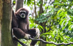 Lar Gibbon. The lar gibbon, also called the white handed gibbon sits comfortably on a branch Royalty Free Stock Image
