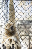 Lar Gibbon. Also known as a white-handed gibbon, hanging on cage fence Stock Photos