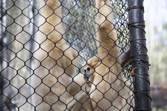 Lar Gibbon. Also known as a white-handed gibbon, hanging on cage fence Royalty Free Stock Photos