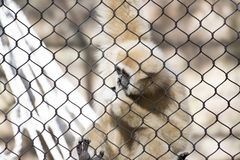 Lar Gibbon. Also known as a white-handed gibbon, hanging on cage fence Royalty Free Stock Photo