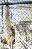 Lar Gibbon. Also known as a white-handed gibbon, hanging on cage fence Stock Images