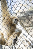 Lar Gibbon. Also known as a white-handed gibbon, hanging on cage fence Royalty Free Stock Images