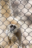 Lar Gibbon. Also known as a white-handed gibbon, hanging on cage fence Stock Image