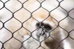 Lar Gibbon Royalty Free Stock Image