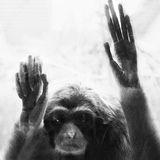 Lar gibbon behind glass Royalty Free Stock Images
