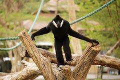 Lar gibbon Stock Photo