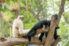 The lar gibbon with a black hand . Royalty Free Stock Photo