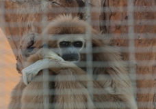 Lar gibbon captive in a zoo Royalty Free Stock Photos