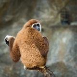 Lar gibbon. Close up Lar gibbon looking something Royalty Free Stock Image