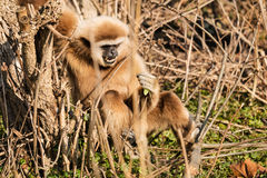 Lar Gibbon Stock Image