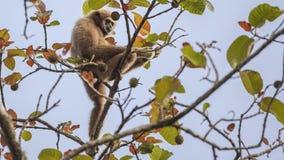 Lar Gibbon Collecting Fruit arkivbilder