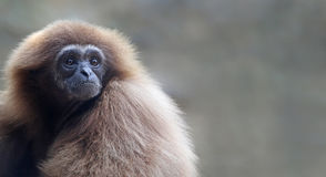 Lar gibbon with copy space Stock Image