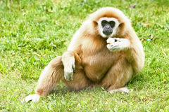Lar Gibbon eating Stock Photo