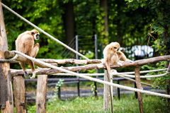 Lar gibbon Stock Images